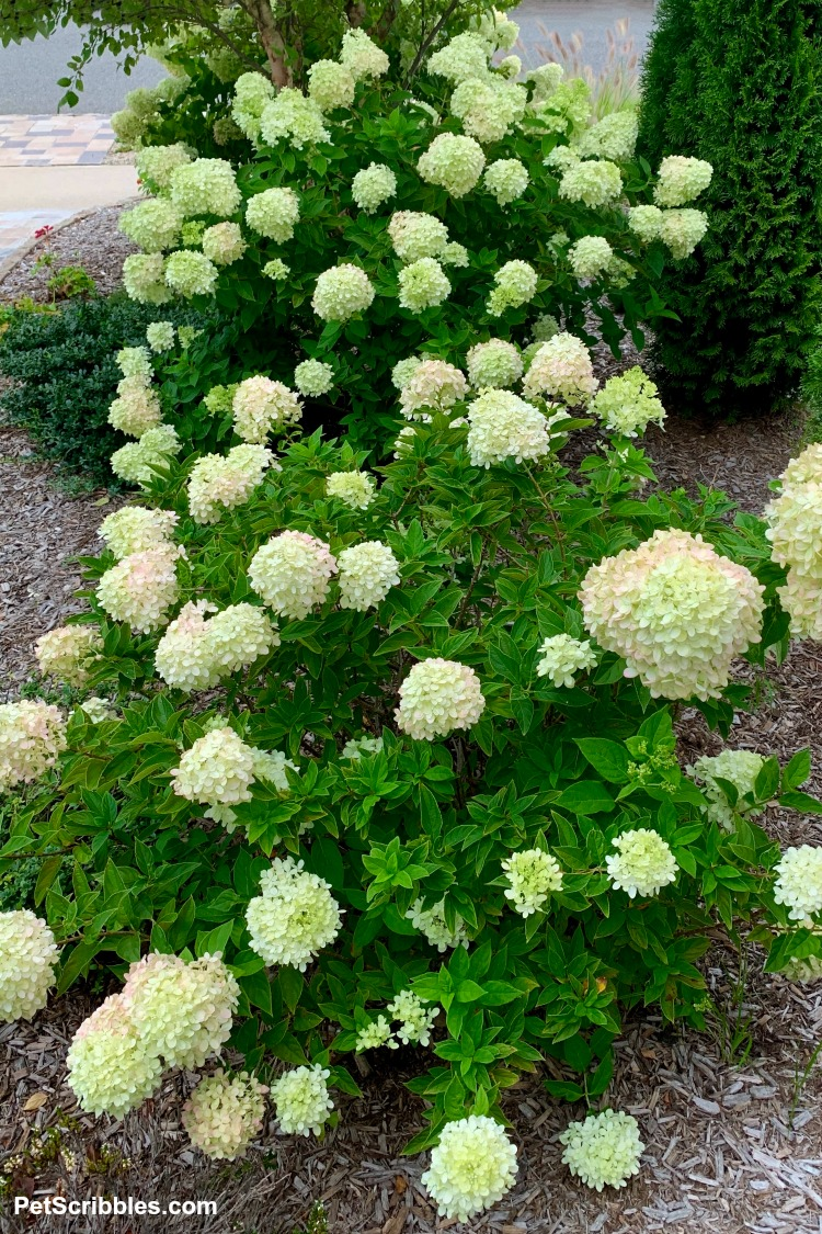 landscaping with Little Lime Hydrangeas