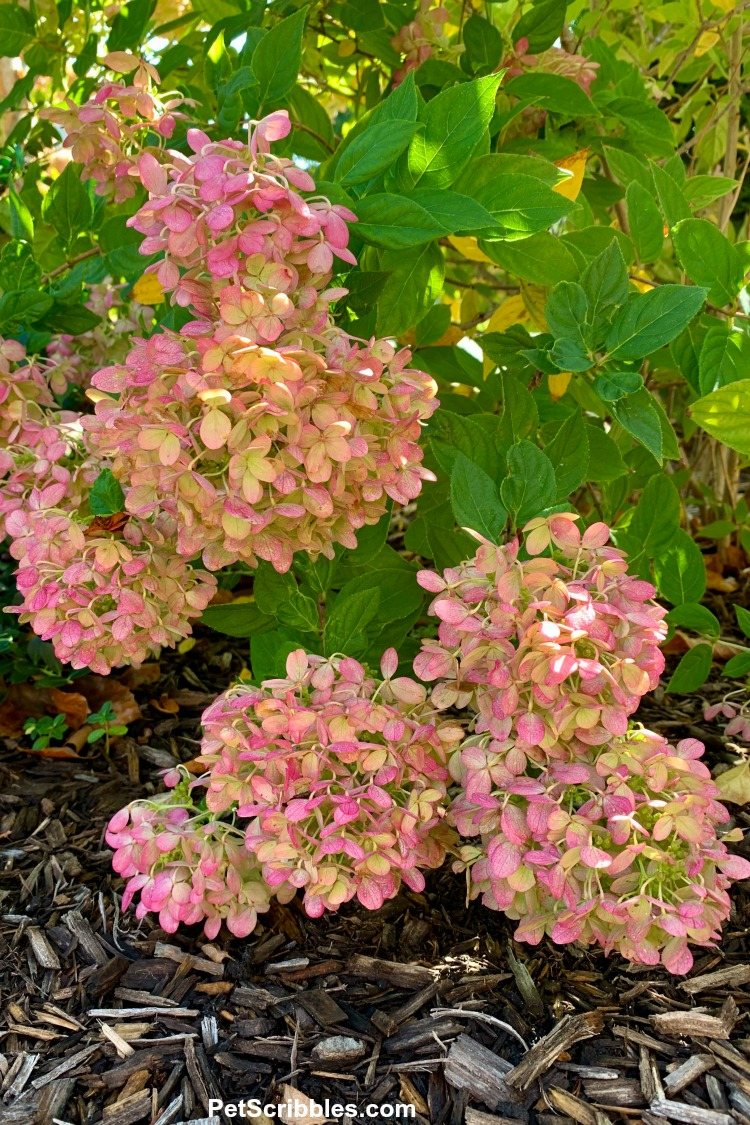 mid-Fall pink color of Little Lime hydrangeas