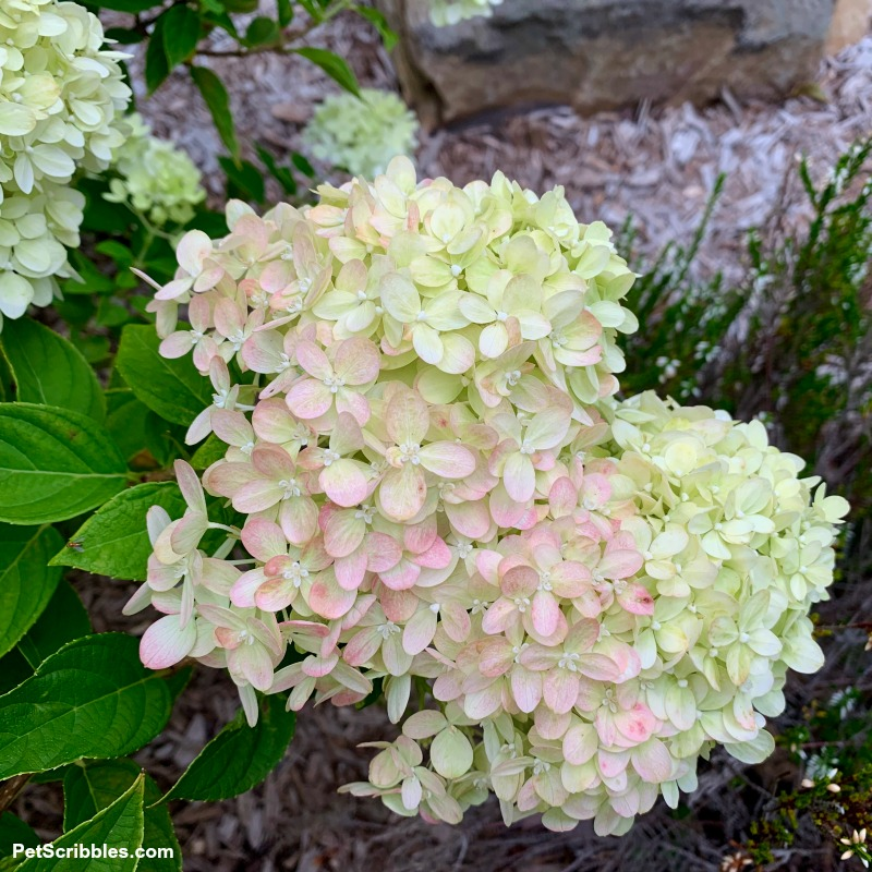 pale lime and pale pink hydrangea blooms
