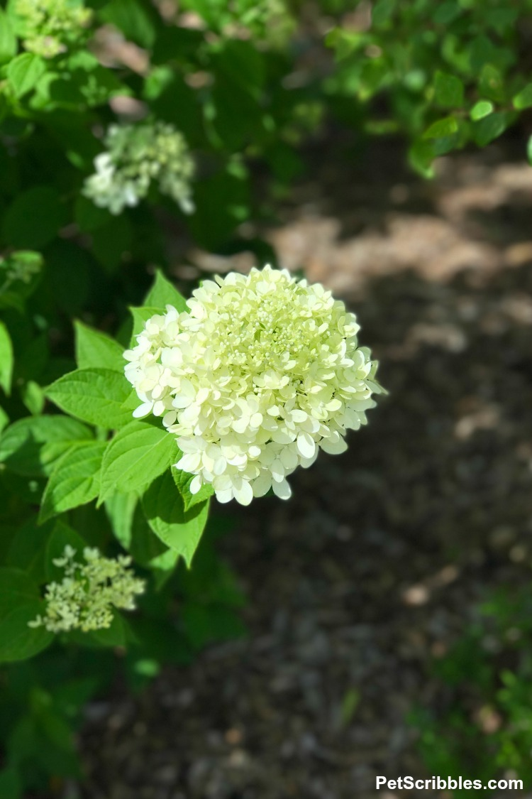 pale lime green flower head of Little Lime Hydrangea