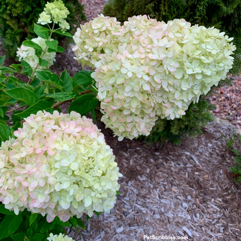 panicle flower heads of Little Lime hydrangea, one more cone-shaped , the other more rounded