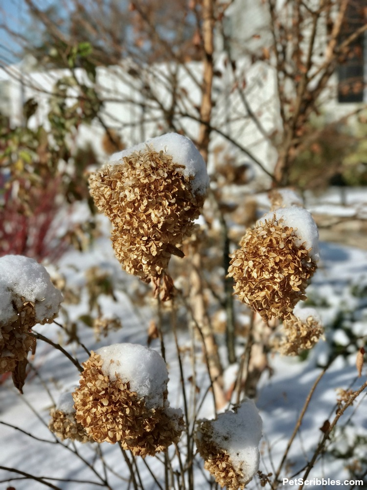 snow on top of Little Lime hydrangea dried flowers