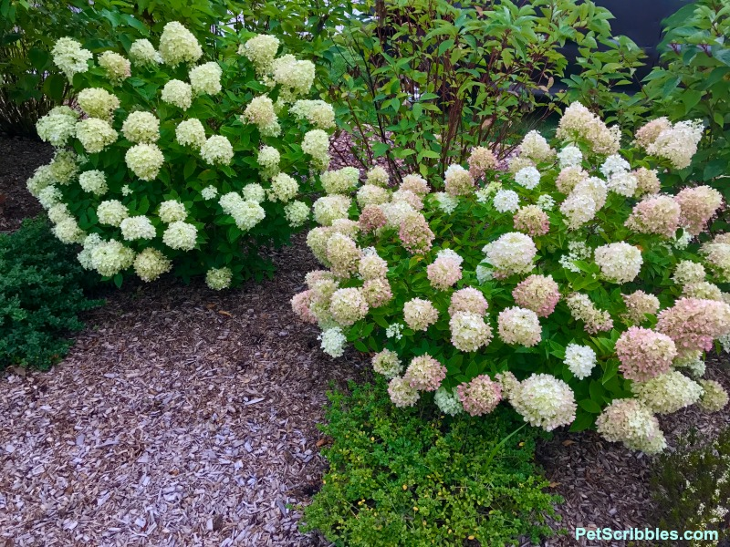 tow Little Lime hydrangeas with one turning pink