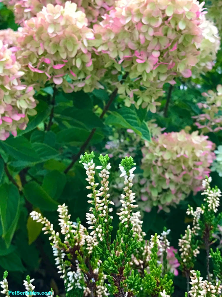 white heather in front of flowering hydrangea