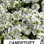 Candytuft: An Easy Year-Round Garden Beauty