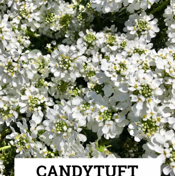 Candytuft: a gorgeous evergreen perennial with white flowers!