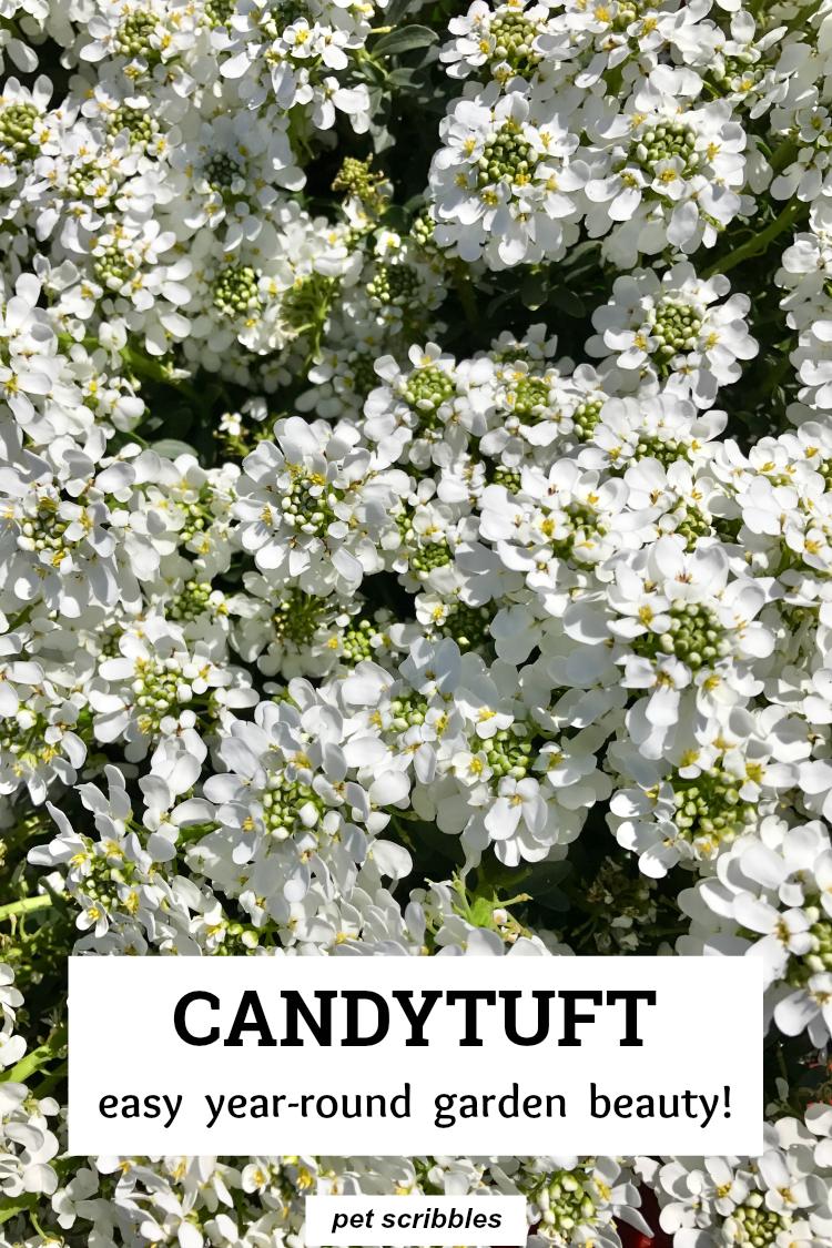 Candytuft An Easy Year Round Garden