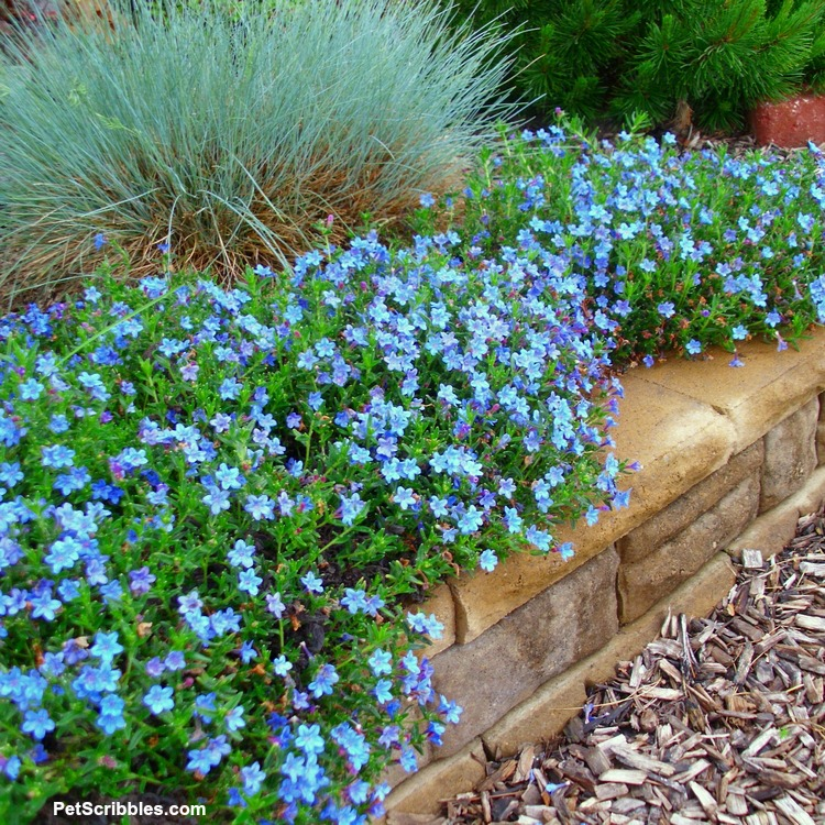 Elijah Blue Fescue grass and blue Lithodora flowers