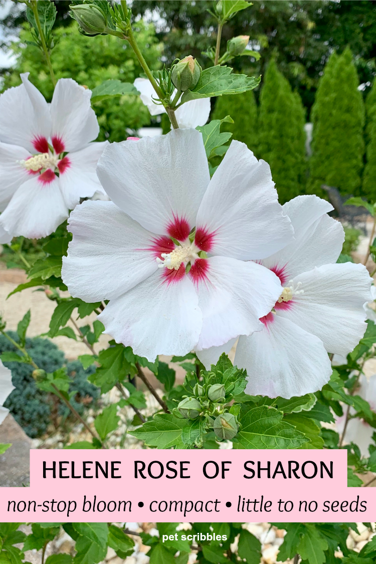 Helene Rose of Sharon with lovely non-stop white ruffled blooms