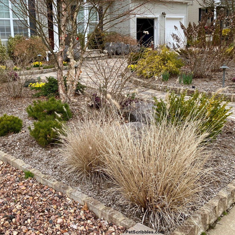 Piglet Fountain Grass in early Spring