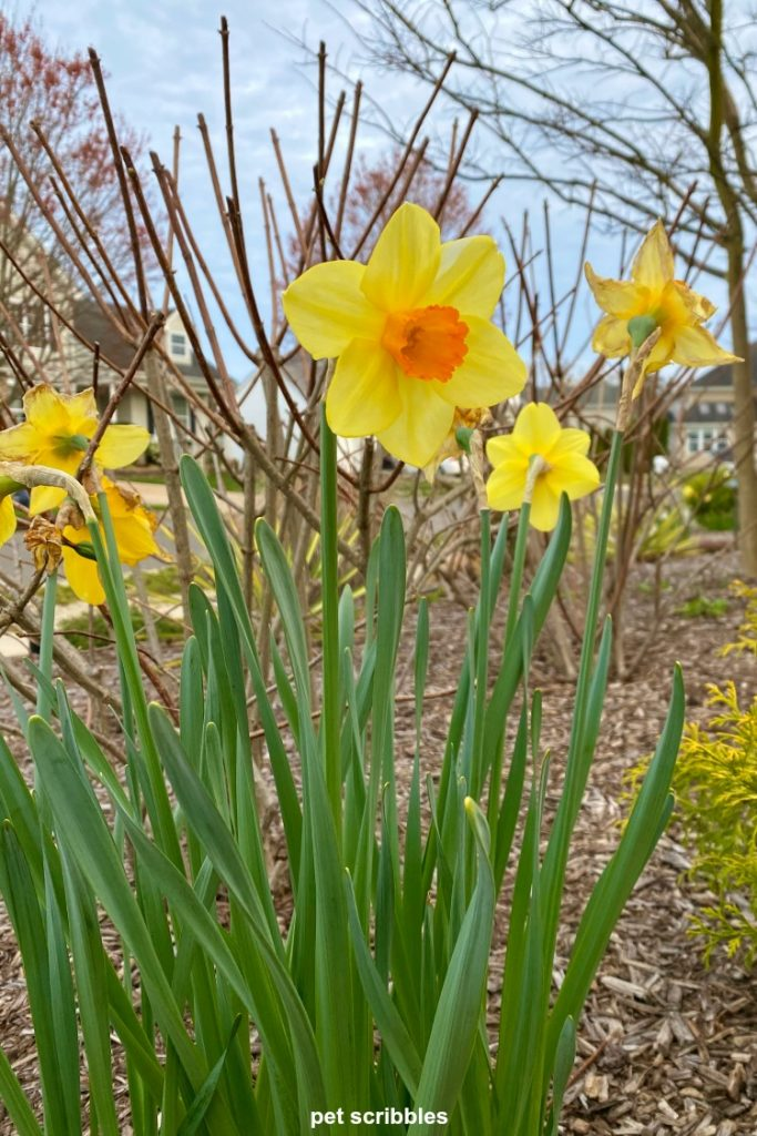 Red Devon Daffodils, yellow petals with an orange-red trumpet