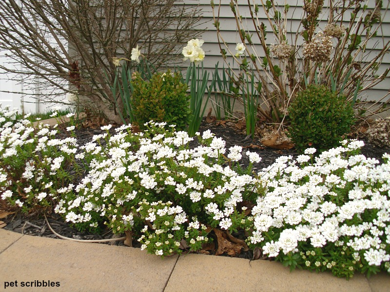 These Candytuft flowers are already bushy, at just one year of age!