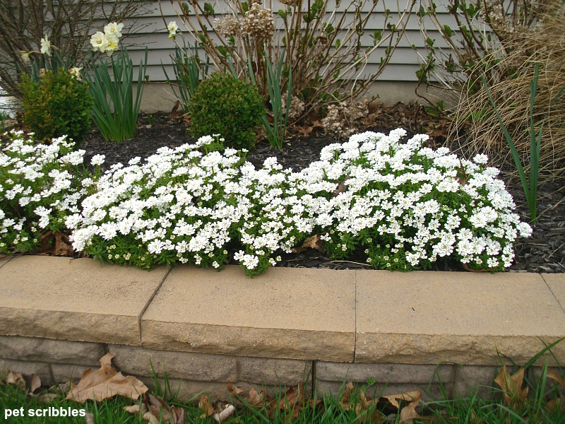 Candytuft: an evergreen perennial covered in pretty white flowers every Spring