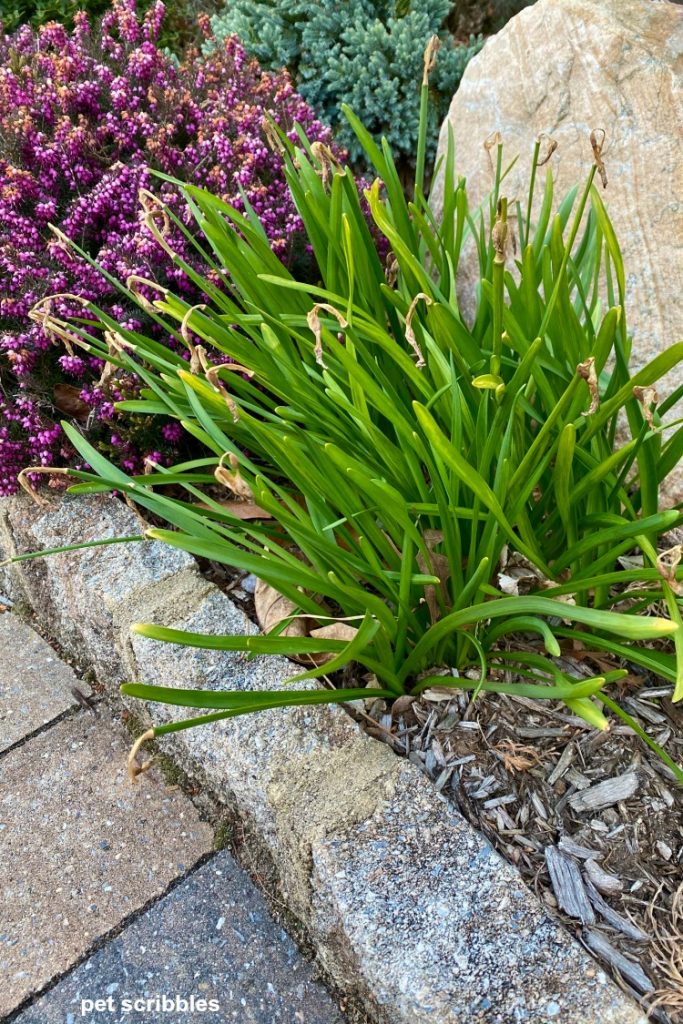 daffodil leaves after blooming