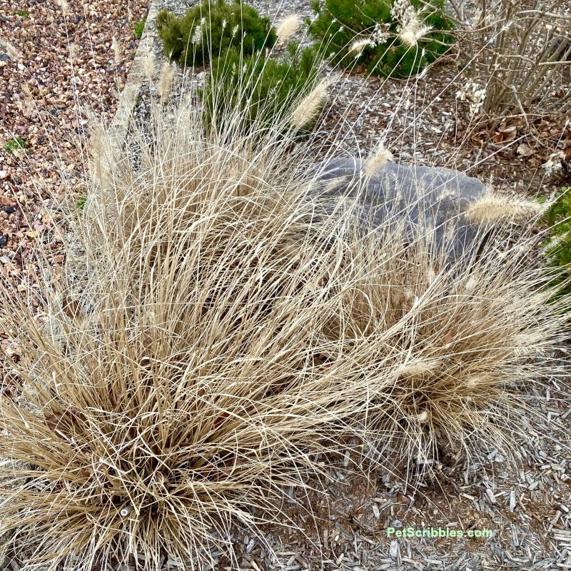 dried Piglet Fountain Grass