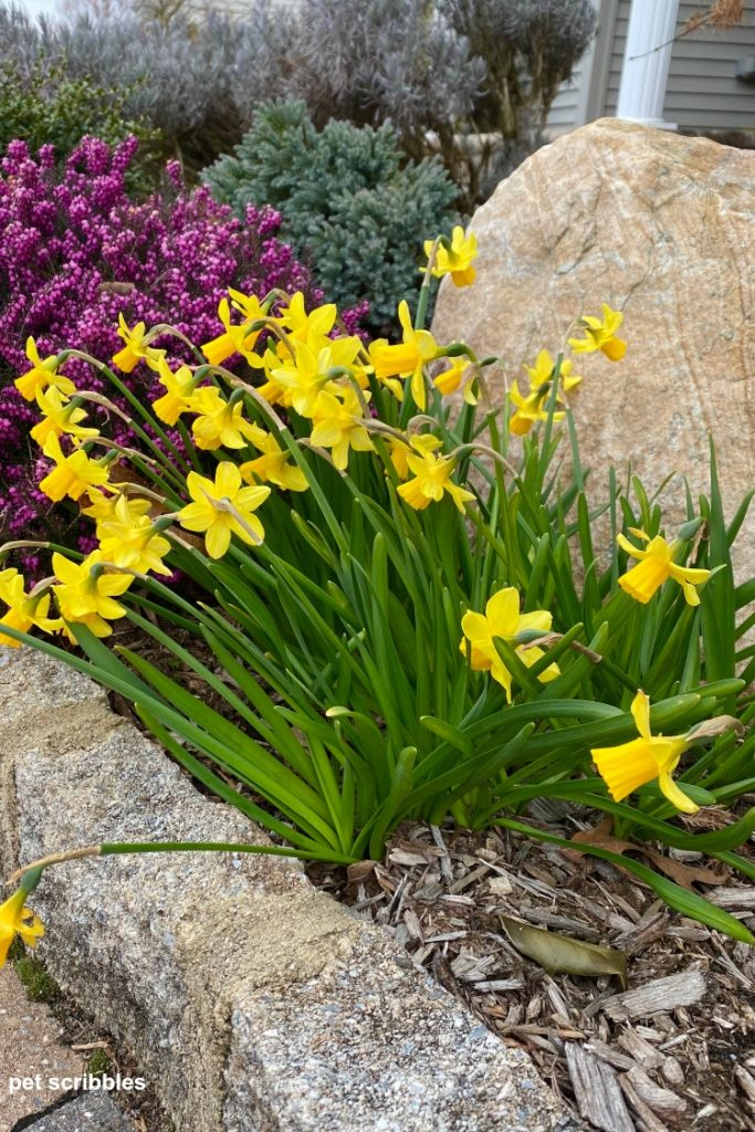 early blooming Tete-a-Tete Daffodils