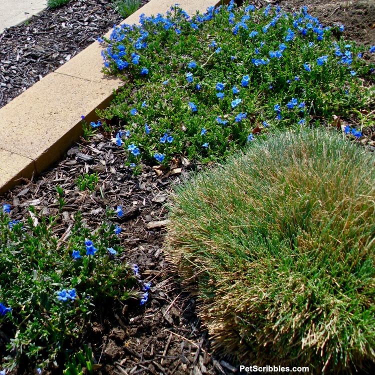 freshly pruned Elijah Blue Fescue grass