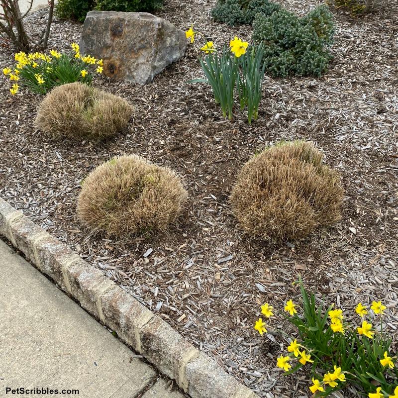 freshly pruned ornamental grasses in Spring