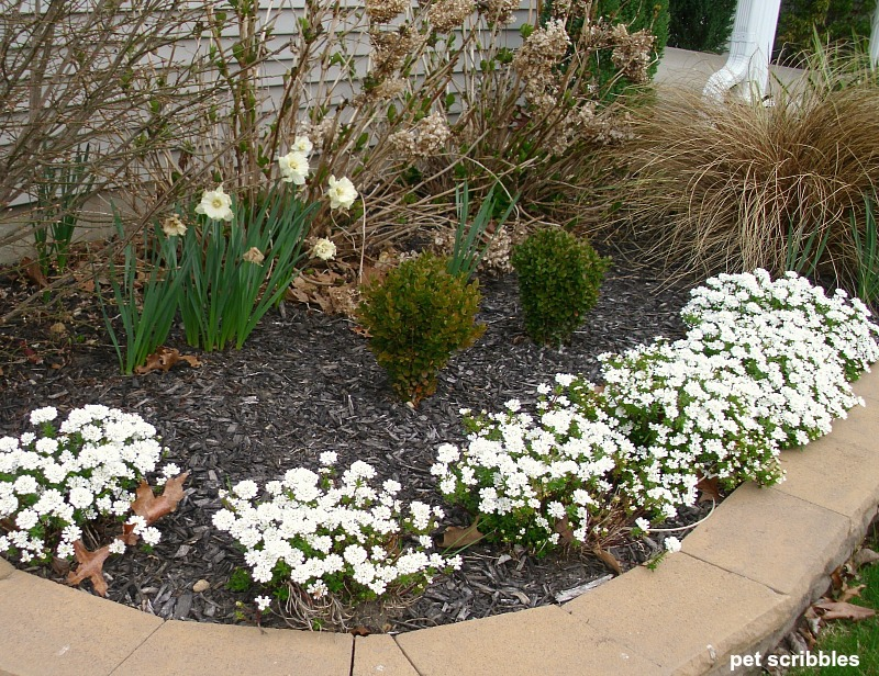 front bed with Candytuft blooming in early Spring