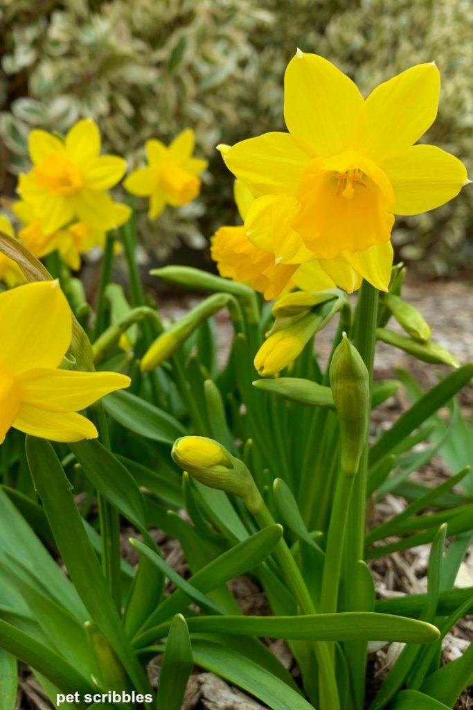miniature Tete-a-Tete Daffodils close up