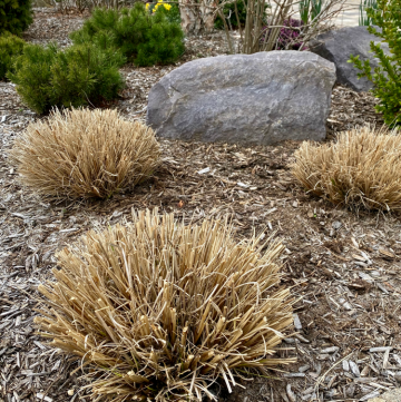 pruning ornamental grasses