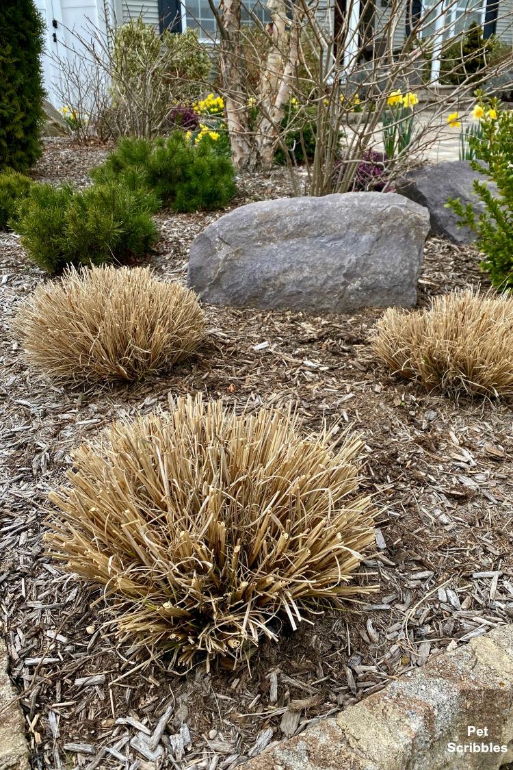 pruning ornamental grasses in Spring