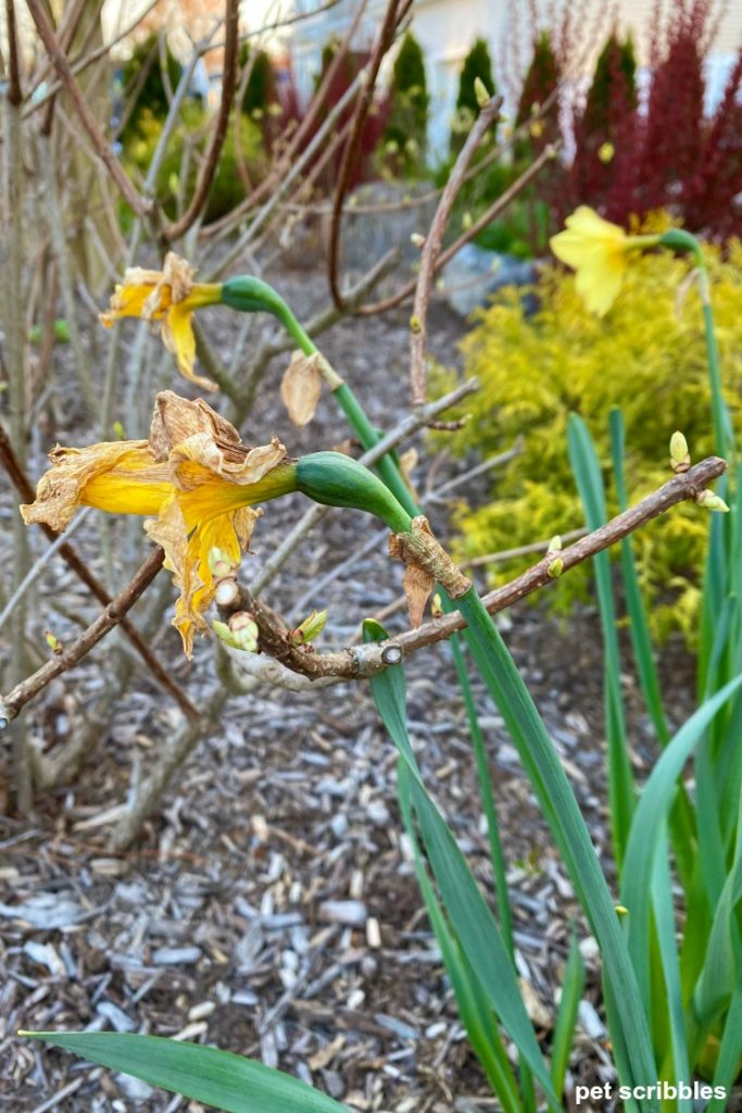remove daffodil seed pods after flowering