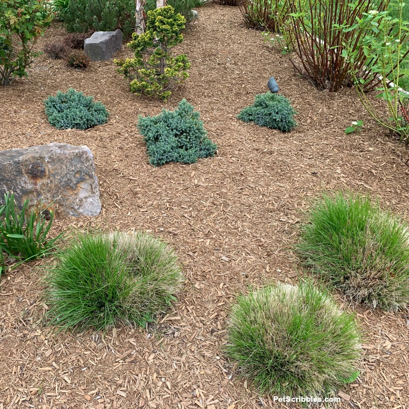 short ornamental grasses with new growth after pruning
