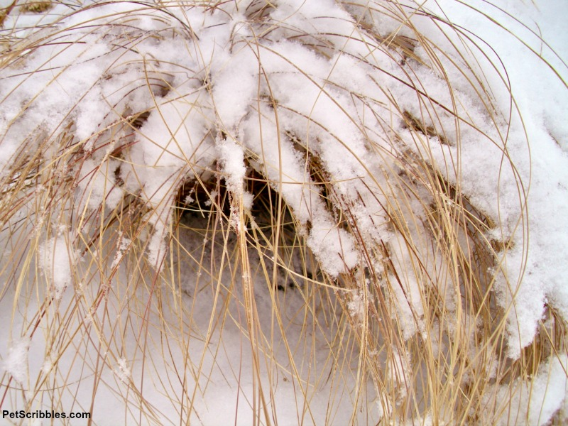 snow covered ornamental grass in Winter