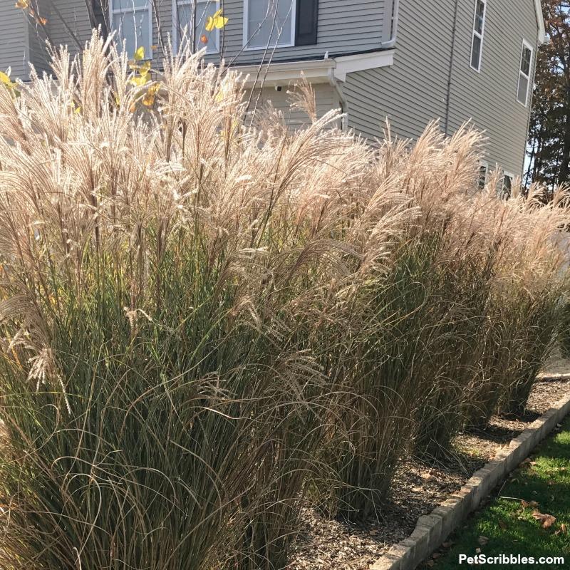 tall ornamental grasses