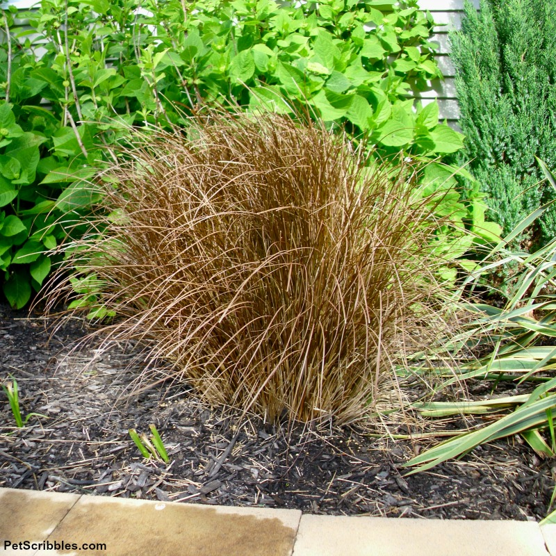 toffee twist sedge grass with fresh growth in late Spring