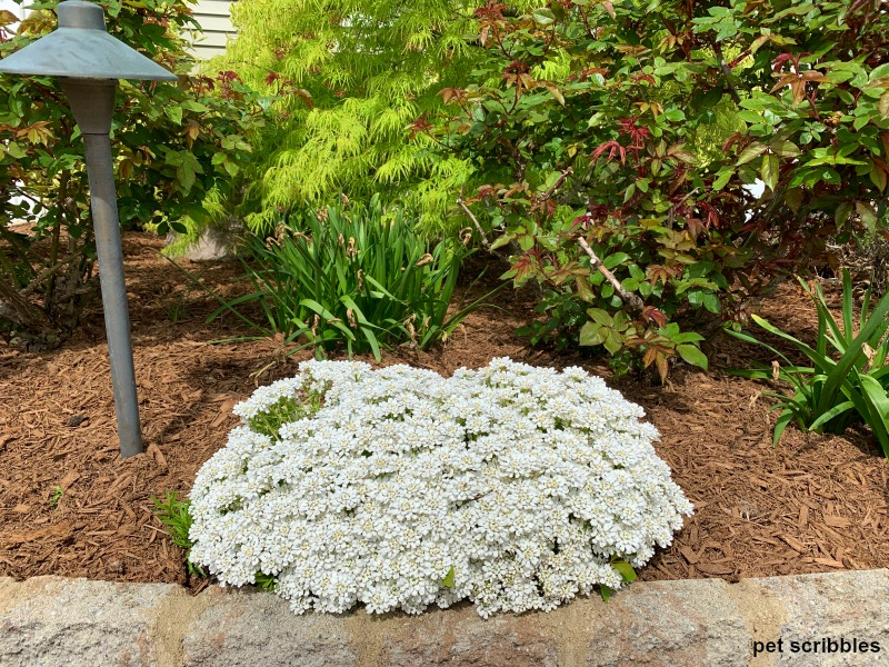 white candytuft blooming in front of daffodil leaves