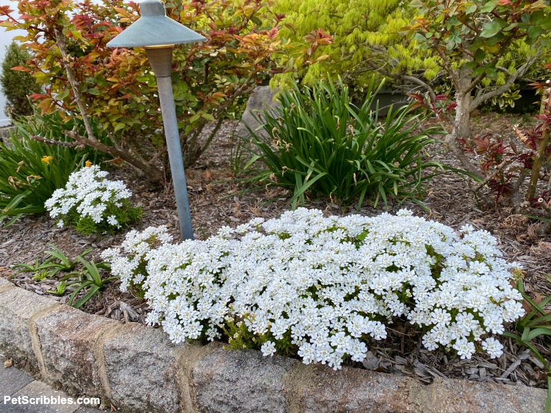 Candytuft Spring flowers blooming