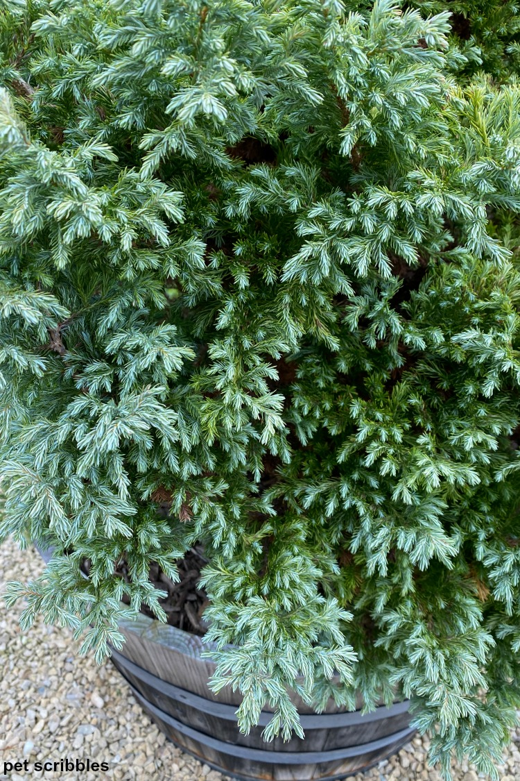 False Cypress Devon Cream shrub blue needles