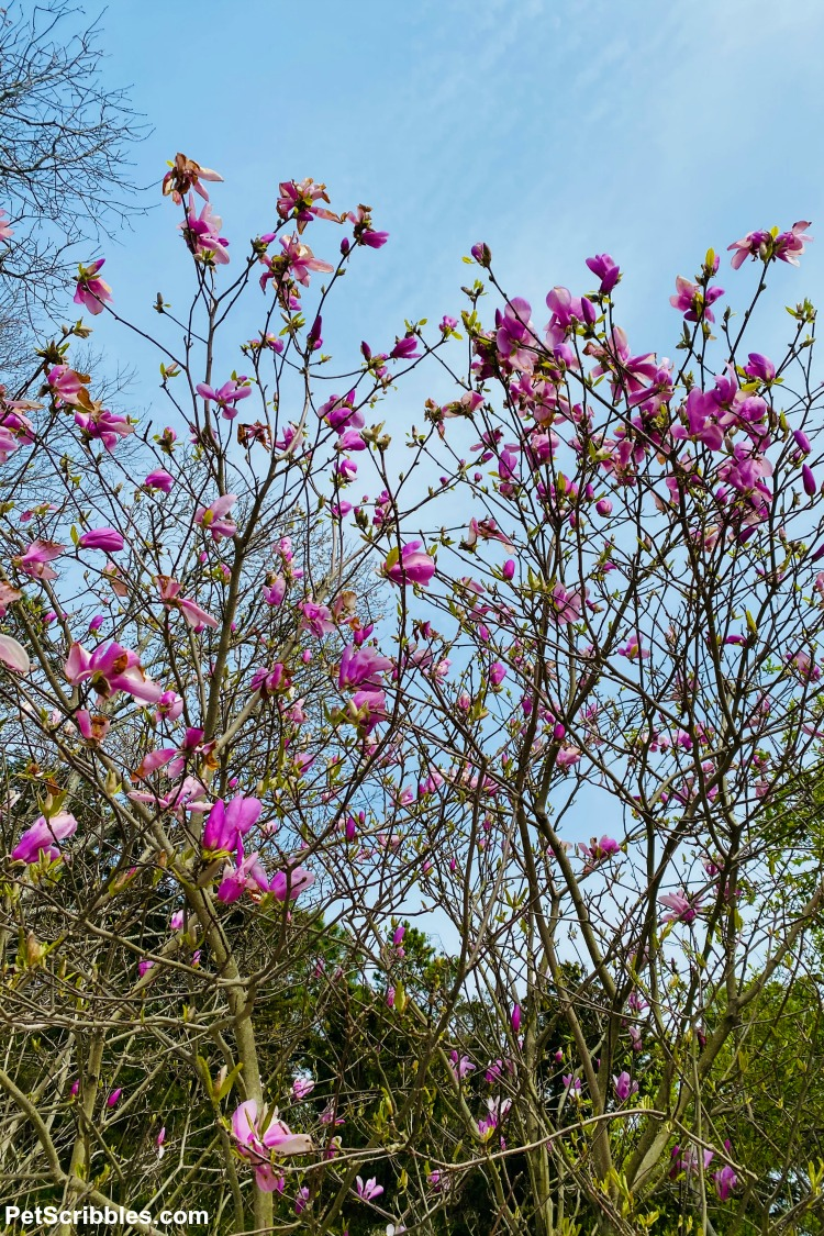 Jane Magnolia Spring flowers blooming against a blue sky
