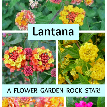 Lantana comes in various colors and color combinations, like the ones shown here.