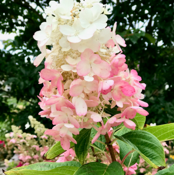 Pinky Winky Hydrangea Care, Your Ultimate Guide