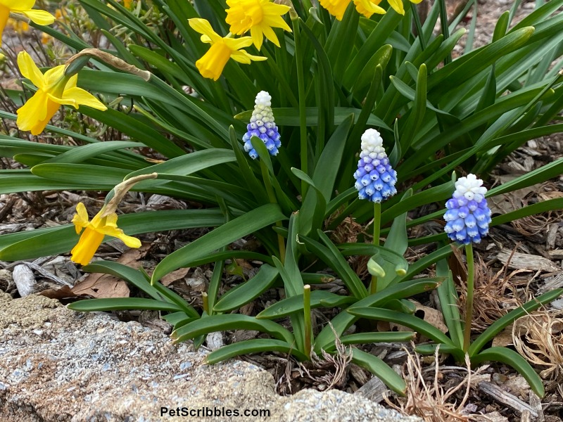 blue muscari and yellow daffodils