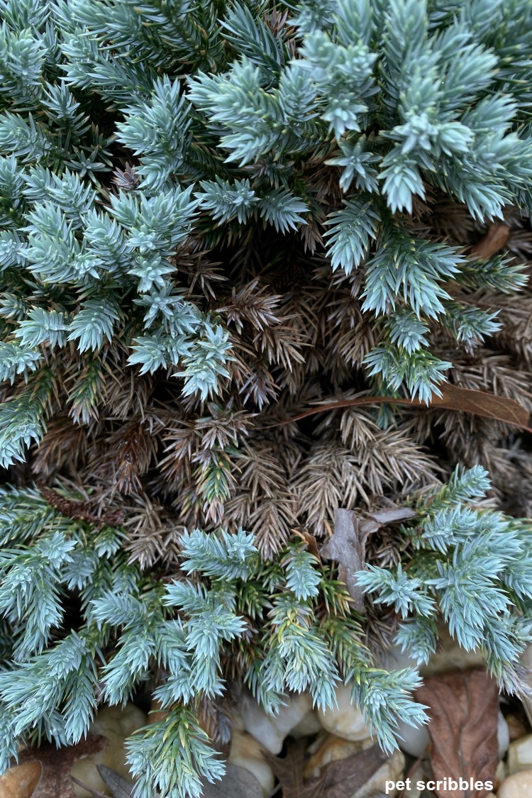 brown growth on blue star juniper