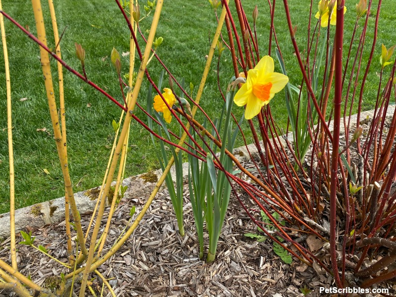 daffodils and red and yellow twig dogwoods