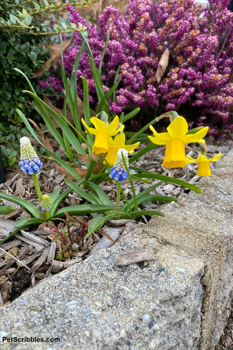 muscari, daffodils and heath in bloom
