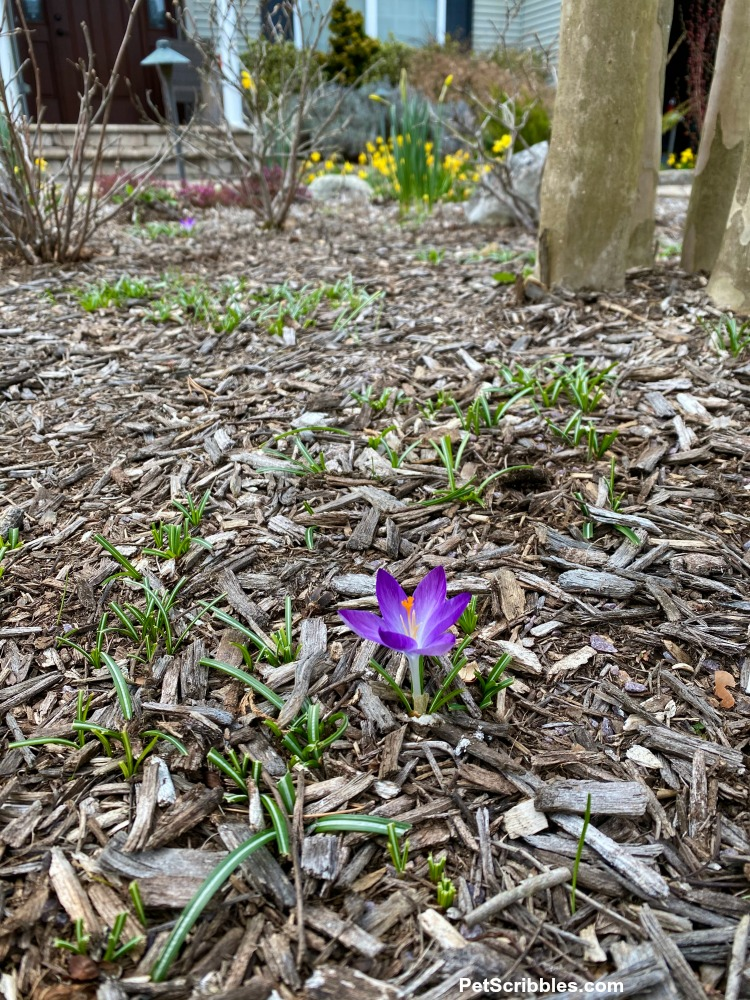 one purple crocus not eaten by critters