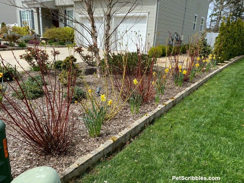 red and yellow twig dogwoods planted together
