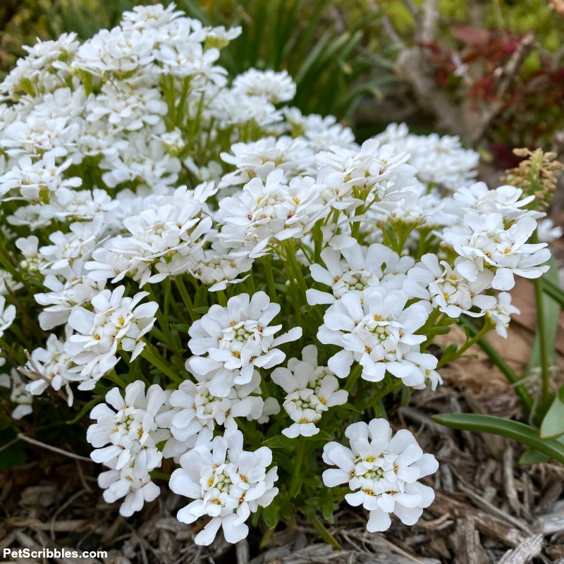 white flowers of candytuft