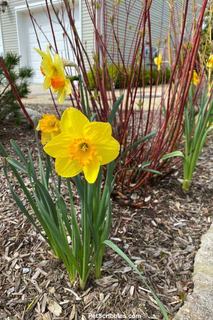 yellow daffodil with red twig dogwood