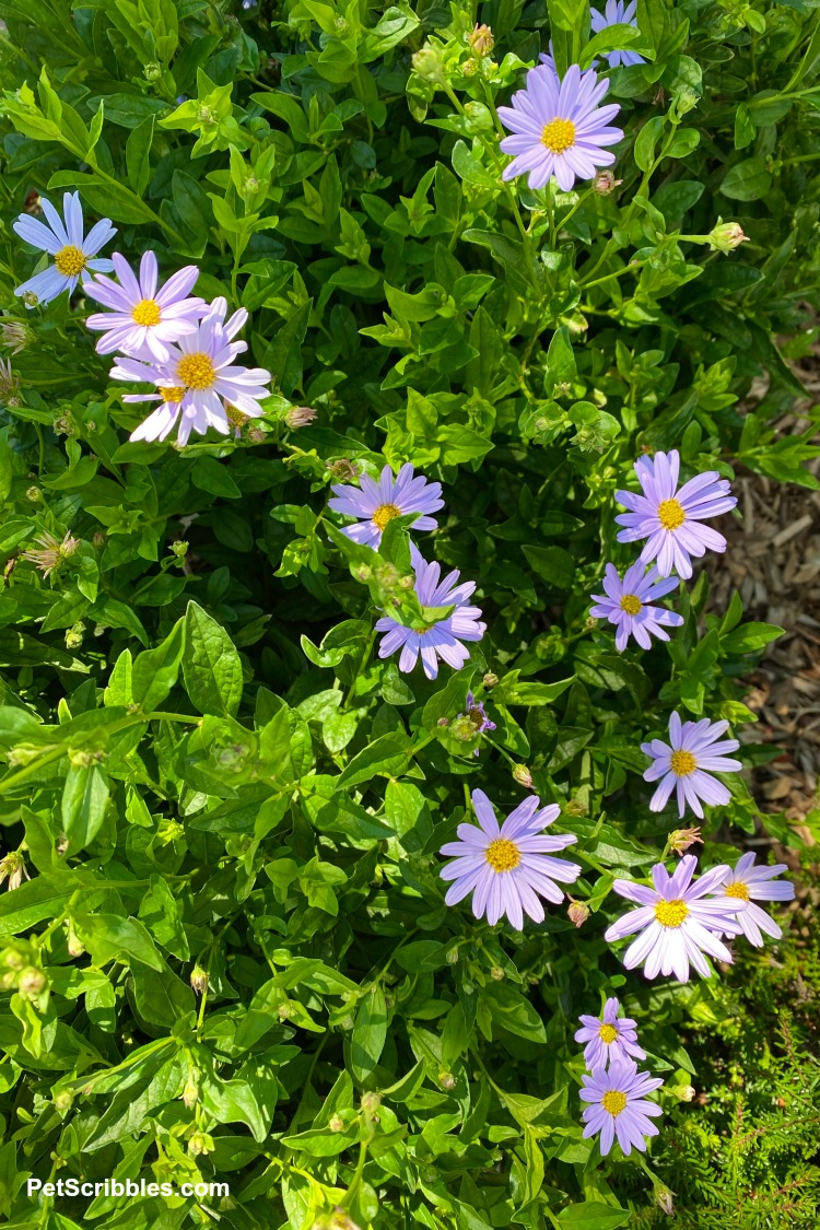 Blue Star Japanese Aster