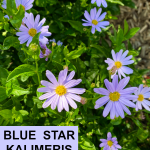 Blue Star Kalimeris or False Aster loves heat and humidity!
