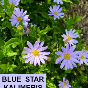 Blue Star Kalimeris
