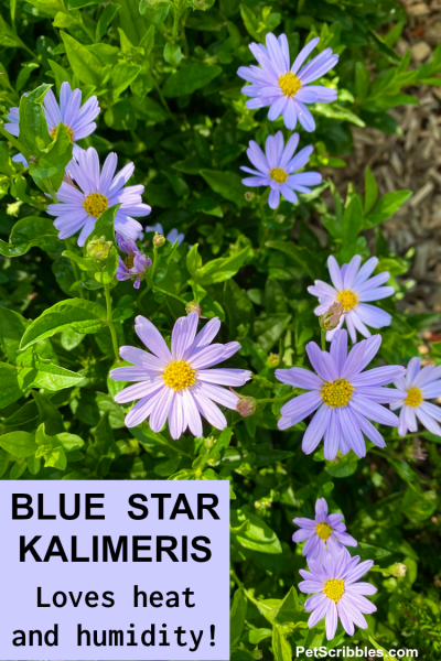 Blue Star Kalimeris
