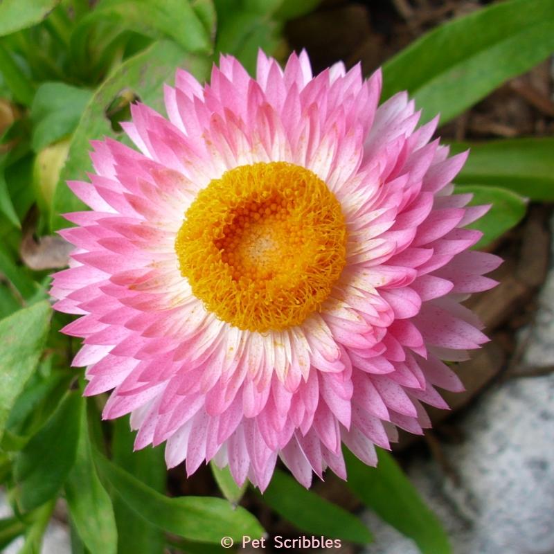pink strawflower
